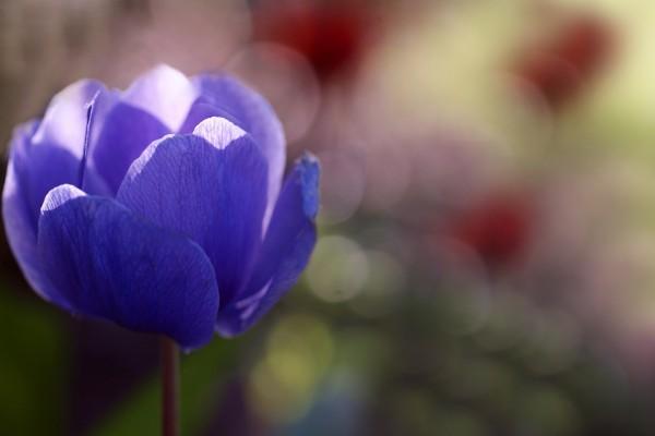 Una hermosa anémona de bosque de color violeta