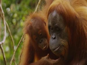 Pequeño orangután tocando la cara de su madre