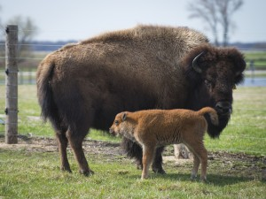 Bisonte junto a su cría