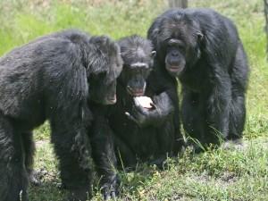 Chimpancés observando una manzana