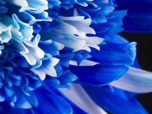 Flor con pétalos azules y blancos