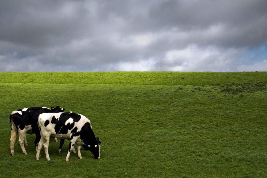 Vacas comiendo pasto en un campo