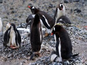 Colonia de pingüinos sobre las piedras