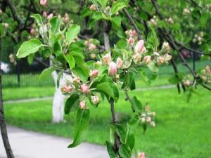 Manzano florecido en un jardín