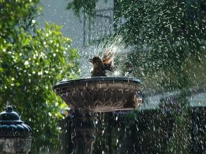Pajarito refrescándose en una fuente de agua