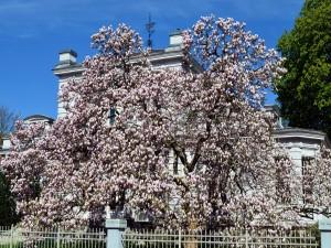 Magnolia frente a una villa