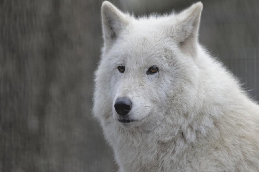 La cara de un lobo blanco