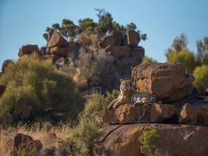 Tigre tumbado sobre una roca