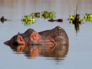 Hipopótamo nadando en el río Nilo