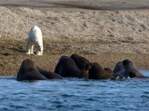 Oso polar frente a unas morsas