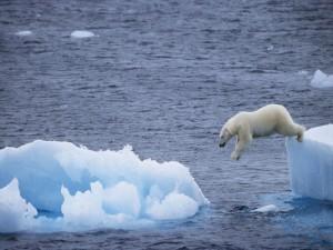 Oso polar saltando de un témpano de hielo a otro