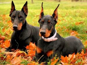 Dos hermosos perros de la raza dóberman