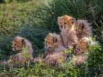 Cachorros de guepardo entre unas plantas