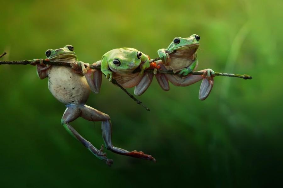 Tres ranas en una rama