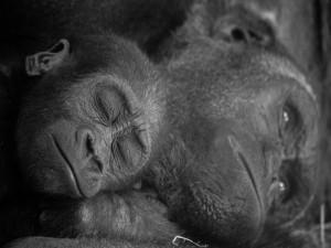 Pequeño gorila durmiendo junto a su madre