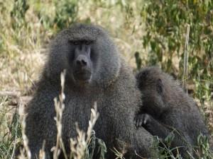 Hembra de babuino con su pequeño