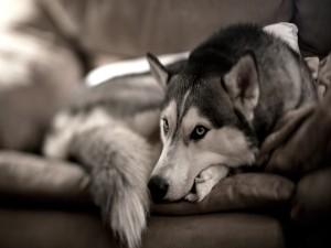 Husky descansando en un sofá
