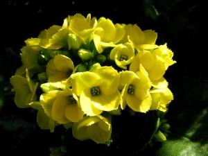 Hermosas flores de kalanchoe con pétalos amarillos