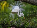 Elegante garza blanca alimentándose entre la hierba