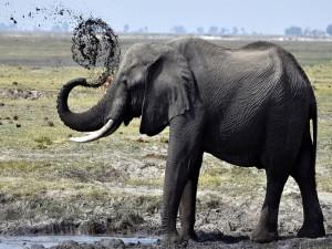 Elefante en un charco de barro