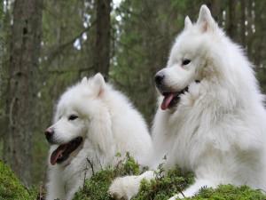 Un par de perros samoyedo