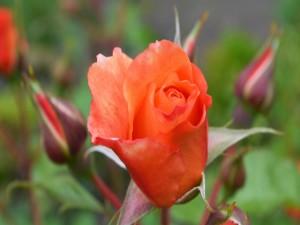 Brotes de rosa naranja en un jardín