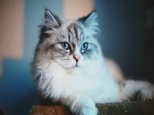 Los ojos azules de un gato