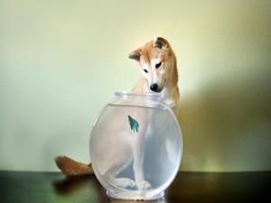 Perro observando al pez beta