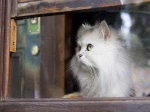 Gato blanco mirando por la ventana