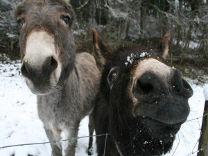 Dos burros en un paraje nevado