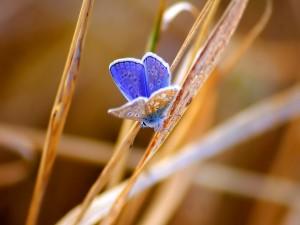 Mariposa azul sobre una brizna seca