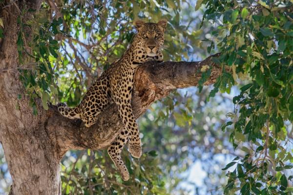 Leopardo descansando sobre la rama de un árbol