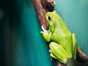 Rana verde sobre una rama