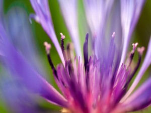 Estambres de una flor morada