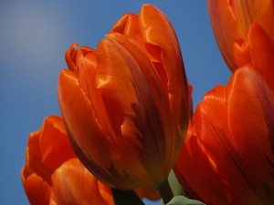 Tulipanes de un bonito color naranja