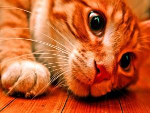 Gato tumbado sobre un suelo de madera