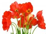 Un manojo de tulipanes