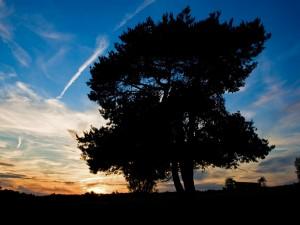 Gran árbol visto al amanecer