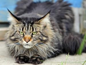La mirada seria de un gato