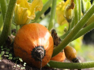 Calabaza y flores de calabaza creciendo en la tierra