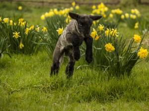 Corderito negro saltando entre las flores
