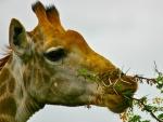 Jirafa comiendo brotes en una rama