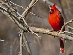 Cardenal sobre una rama