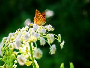 Pequeña mariposa sobre unas florecillas blancas