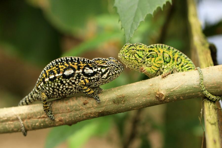 Dos bonitos camaleones sobre una rama
