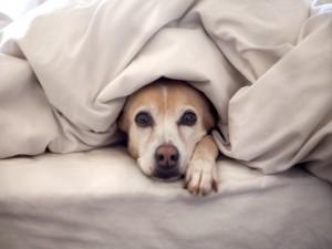 Un perro bajo las sábanas