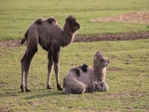 Dos pequeños camellos asiáticos (Camelus bactrianus)