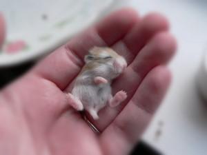 Un pequeño hámster sobre la palma de una mano