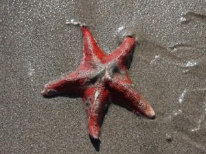 Estrella de mar sobre la arena húmeda