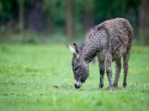 Pequeño burro comiendo hierba